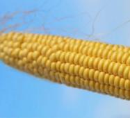 Кукуруза сахарная Роттердам (ЕКК-40М) 50 сем.