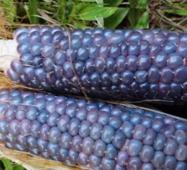 Кукуруза голубой нефрит (ЕКК-43 ) за 10 сем