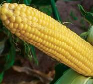 Кукуруза сахарная Джамала (ЕКК-38М) за 50 сем.