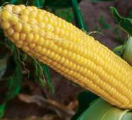Кукуруза сахарная Джамала (ЕКК-38А) за 200 сем.