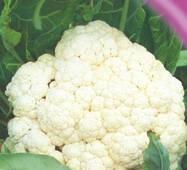 Семена капусты цветной Мовир - 74 100 шт.