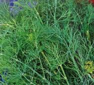 Семена укропа кустового Аннет