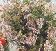 Семена кинзы Нектар (кориандр)