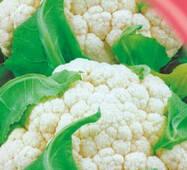 Семена капусты цветной Летняя альфа 100 шт.