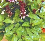 Семена Базилика зеленого карликового Мины