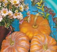 Семена тыквы Медовая красотка (мускатный) 10 шт.
