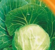 Семена капусты белокачанной Тюркиз 100 шт.