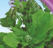 Семена огуречной травы Бораго 15 шт.