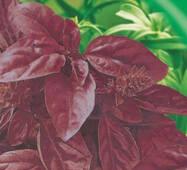 Семена базилика фиолетовый Опалы 100 шт.