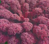 Семена капусты листовой кудрявой Скарлет красная (имп)
