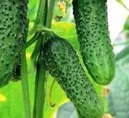 Семена огурцов пчелоопыляемых Подарок осени (УКР)