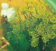 Семена укропа Грибовский 3 г