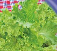 Семена салата Австралийский желтый 1000 шт.