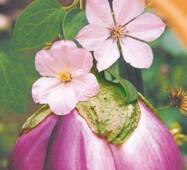 Семена баклажана Виола ди Фиренце 20 шт.
