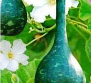 Семена кабачков Лагенария Булава