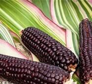 Кукуруза попкорн Японика  (ЕКК-42)  за 10 сем.