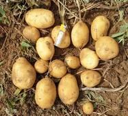 Картопля Сенсація сітка 3 кг