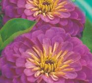 Цинния Пурпура Принц 30 шт.