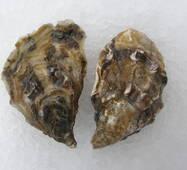 Морепродукты - Устрицы