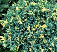Ялівець лускатий Флоріант (ОКН-2596) за 2-4 л