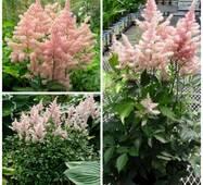 Астільба Peach Blossom (ОКН-2609) за 0,5-1,5 л