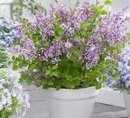 Бузок Мейєра Flowerfesta (ОКН-2402) за 2-4л