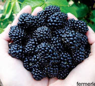Саджанці чорної малини (сорт Кумберланд)