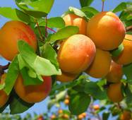 Саженцы абрикоса Оранж Ред