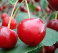 Саженцы вишни Ранний десерт