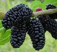 Саженцы шелковицы Черная жемчужина