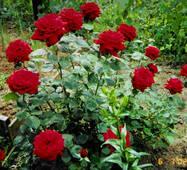 Саджанці троянд Кардинал