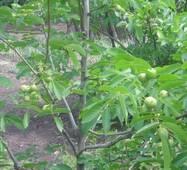 Саженцы грецкого ореха Прикарпатский (трехлетний)