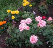 Саджанці троянд Ангажемент