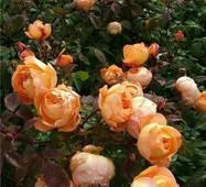 Саджанці бордюрних троянд Дольче Вита