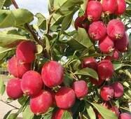 Саженцы яблони Райка