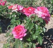 Саджанці троянд Кроненбург