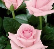 Саджанці троянд Титанік
