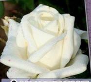 Саджанці троянд Анастасія