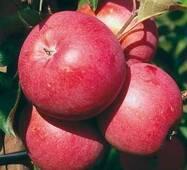 Саженцы яблони Эмбасси