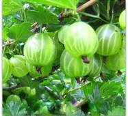 Саджанці агрусу Малахіт