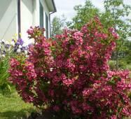 Саженцы Вейгелы розовой