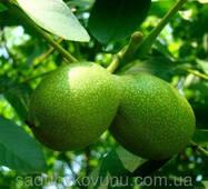 Саженцы грецкого ореха Буковинский-1 (однолетний)
