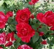 Саженцы роз Ред Интуишн