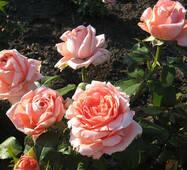 Саджанці троянд Нобилис