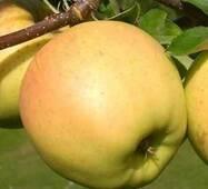 Саженцы яблони Сириус