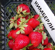 Саджанці полуниці Кимберли