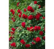 Саджанці плетистих троянд Амадеус