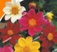 Семена цветов Георгины Веселые ребята смесь, 0.3 гр