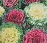 Семена цветов капуста декоративная Бахромчатая, 0.2 гр