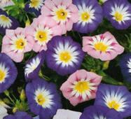 Семена цветов  Вьюнок Смесь, 1.0 гр